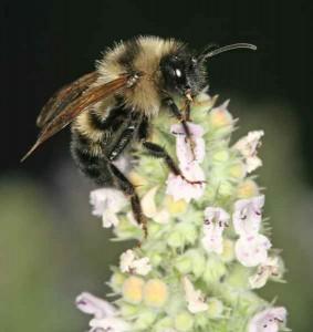 A Bee on Catnip Flowers
